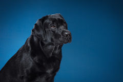 Svart labrador för ståendehundavel på en studio Royaltyfria Foton