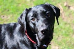 Svart labrador framme av gräs- bakgrund Royaltyfria Bilder