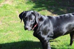 Svart labrador framme av trädgården Arkivfoton