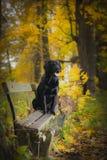 Svart labrador höst i natur, tappning Fotografering för Bildbyråer