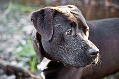 Svart labrador hund i vatten Royaltyfria Bilder