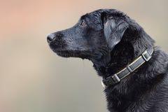 Svart labrador huvudskott Royaltyfria Foton