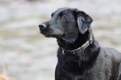 Svart labrador huvudskott Arkivfoton