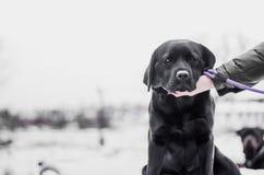 Svart labrador i snö Royaltyfri Foto