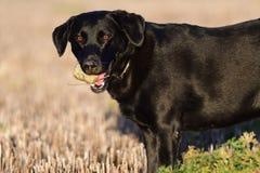 Svart labrador med en sten i den mun för ` s Royaltyfria Bilder