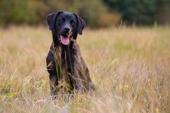 svart labrador retriever arkivfoto