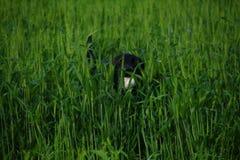 svart labrador retriever Royaltyfri Bild