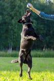 svart labrador retriever Fotografering för Bildbyråer