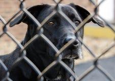 Svart labrador retriever för pensionär hund Arkivfoto