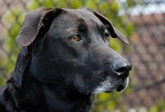 Svart labrador retriever för pensionär hund Fotografering för Bildbyråer