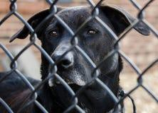 Svart labrador retriever för pensionär hund Royaltyfria Bilder