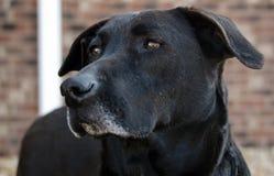 Svart labrador retriever för pensionär hund Arkivbild