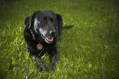 Svart labrador retriever hundstående Arkivbilder