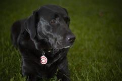 Svart labrador retriever hundstående Arkivfoto
