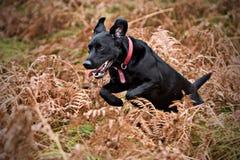 svart labrador running Fotografering för Bildbyråer