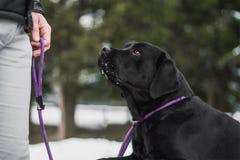 Svart labrador som framme sitter av en hundinstruktör på en snöig dag arkivfoton