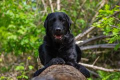 Svart labrador som ligger på en trädstam med gröna sidor i bakgrund royaltyfri fotografi