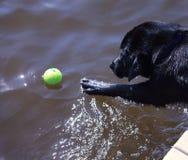 Svart labrador som når för boll royaltyfri fotografi