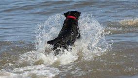 Svart labrador som plaskar i havet Royaltyfri Foto