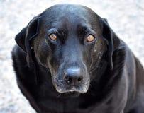 Svart labrador som ser closeupen royaltyfri foto