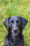 svart labrador stående Arkivbild