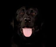 svart labrador stående Fotografering för Bildbyråer