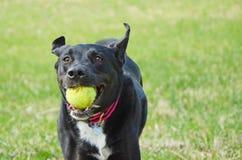 Svart labradorblandningspring med en boll Royaltyfri Foto