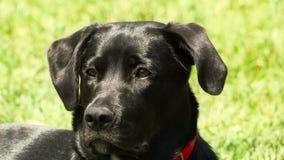 Svart labradorhundnärbild stock video