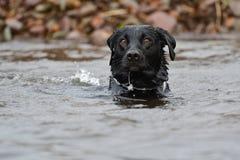 Svart labradorsimning i vattnet Arkivbilder