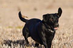 Svart labradorspring i ett fält Royaltyfri Fotografi