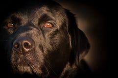 Svart labradorstående på soluppgång fotografering för bildbyråer