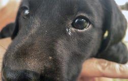 Svart labradorvalp för närbild royaltyfri foto