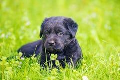 Svart labradorvalp i trädgården fotografering för bildbyråer