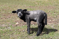 svart lamb Arkivfoton
