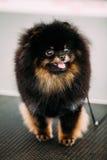 Svart le liten hund för Pomeranian Spitz arkivfoton