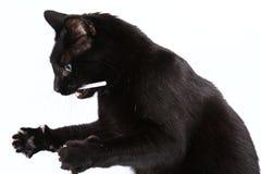 svart leka för katt Arkivbilder