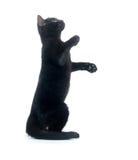 svart leka för kattunge Arkivbilder