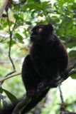 svart lemur Arkivfoto
