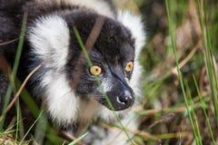 svart lemur ruffed white Royaltyfria Bilder