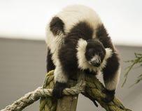 svart lemur ruffed white Arkivfoton
