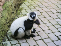 svart lemur ruffed white Royaltyfri Fotografi