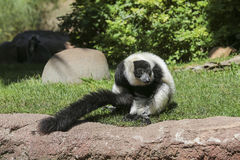 svart lemur ruffed white Arkivbilder