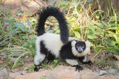 svart lemur ruffed white Fotografering för Bildbyråer