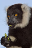 svart lemur ruffed white Arkivbild