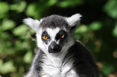 svart lemurwhite Royaltyfri Bild