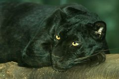 svart leopardpanter arkivbild