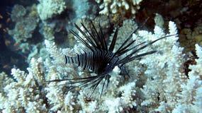 svart lionfish Arkivfoto