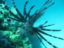 Svart lionfisk Royaltyfria Bilder
