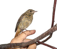 svart liten redstart för fågel Royaltyfri Foto