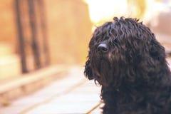 Svart lockig hund på en bokehbakgrund arkivfoton